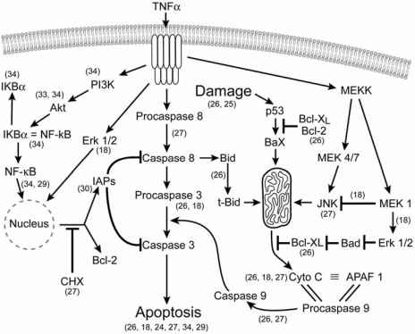Tnf Induced Apoptotic Pathway