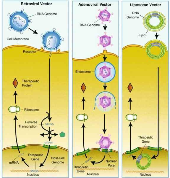Viruses penetrate host cell via vector course