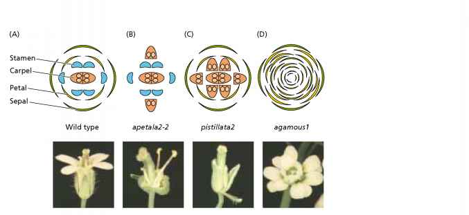 Floral Homeotic Genes