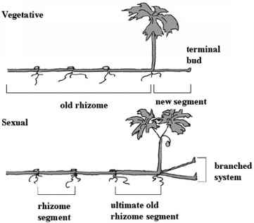 Rhizome Diagrams