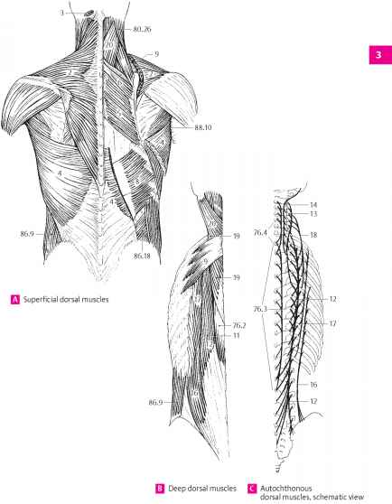 Spinal Muscle Fascia