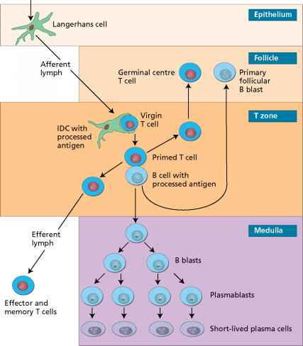 Dendritic Cell Cell Priming