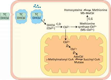 Intracellular Metabolism