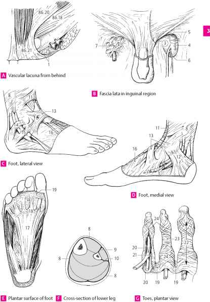 Fibrous sheaths of the digits of the foot - Lymph Nodes