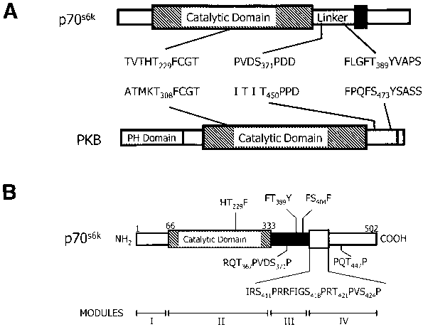P70s6k Structure