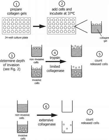 Diagram Collagen Seeding Theory