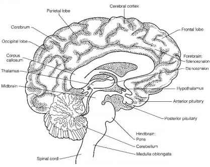 Brain Reticular Formation